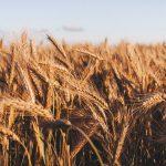Российский зерновой союз снизил прогноз урожая пшеницы